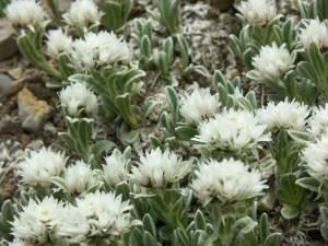 Анафалис трехжилковый