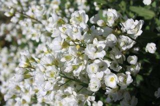Арабис alpina Flore Plena