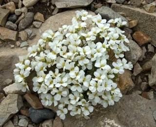 Арабис моховидный
