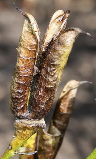 Созревшие семена