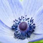 anemona_golub