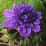 anemona_koronch6