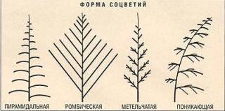 Форма соцветий астильбы
