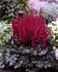 Astilbe 'VISION IN RED'