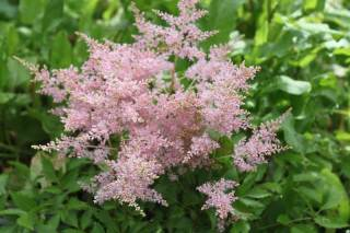Astilbe 'Younique Silver Pink'