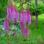 Astilbe chinensis Superba