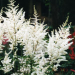 stilbe Hybrida 'Younique White'