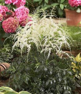 Astilbe with senseish
