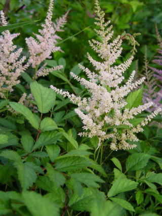 Astilbe x japonica 'Pich Blossom'