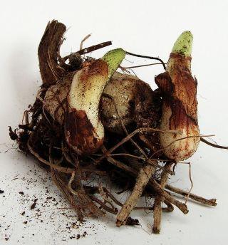 Псевдобульбы с ростками