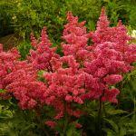 Astilbe Hybrida 'GardenStreet'