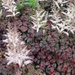 Astilbe Hybrida color flesh