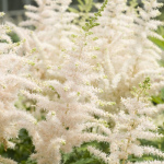 Astilbe 'Milk and xhani'