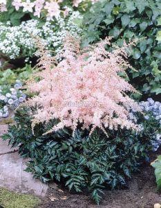 Astilbe Simplicifolia 'Pink Lightning'