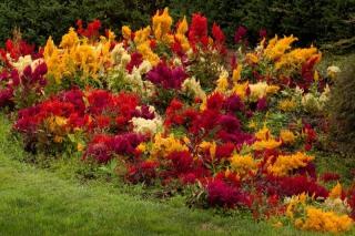 Астильба в цветнике