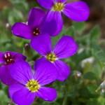 Аубриета изящная 'Kitte Purple'