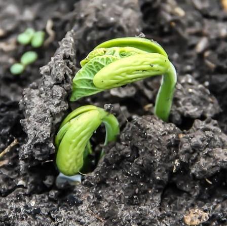 Оживляем не взошедшие семена