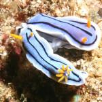 Спаривание хромодорисов Лочи (Chromodoris lochi)