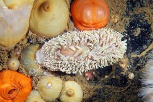 Эолидия (Aeolidia papillosa) поедает актинию