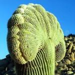кактус-gigantskie-kaktusy-saguaro_18_1