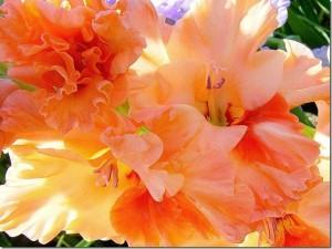 Гладиолус – цветок лета