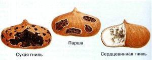 Заболевания гладиолусов