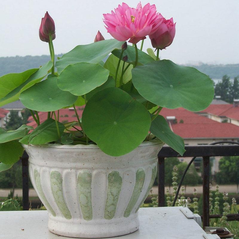 Лотос цветок как вырастить дома