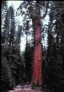 Генерал Шерман до потери ветви в 2006 году, эта ветвь видна в правой верхней части снимка