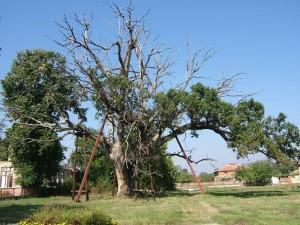 Гранитский дуб