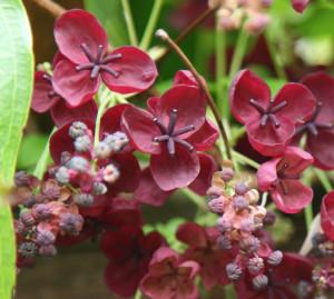 Цветы Акебии