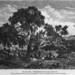 Мамврийский дуб. Рисунок с фотографии 1862 года