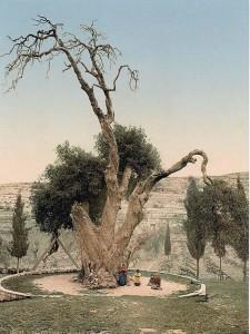 Мамврийский дуб. Фото 1890—1900 годов