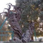 Мамврийский дуб в 2008 году. В правом нижнем углу снимка виден молодой побег, в виде небольшого куста