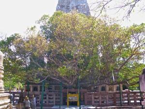 Саженец священного дерева Бодхи