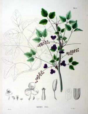 Акебия (Ботаническая иллюстрация)