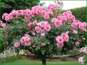 Из розы в шиповник
