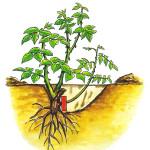 Удаление корневой поросли