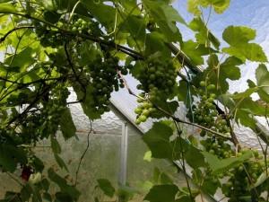 Виноград «Labrusca»