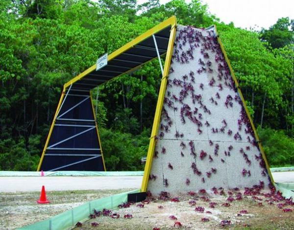 Мост для миграции красного краба, Национальный парк острова Рождества, Австралия