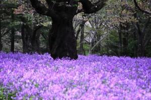 Орихофрагмус фиолетовый
