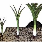 По мере роста растение необходимо окучивать