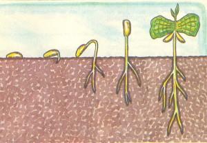 Схема прорастания кофе