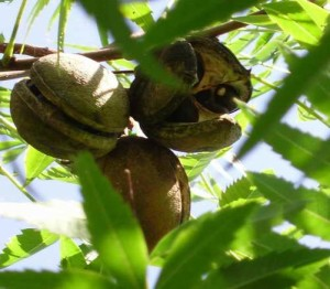 Чекалкин орех