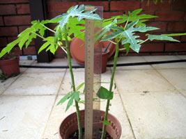 Папайя из семян выращивание 64