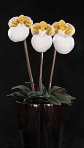 Paphiopedilum micranthum var. eburneum