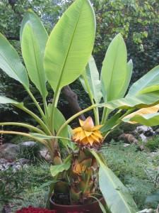 Карликовый банан