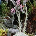 еcheveria strictiflora
