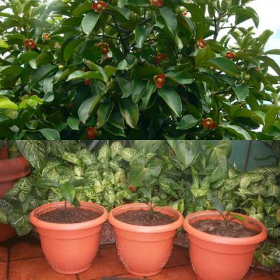 Вырастить мангостин в домашних условиях 407