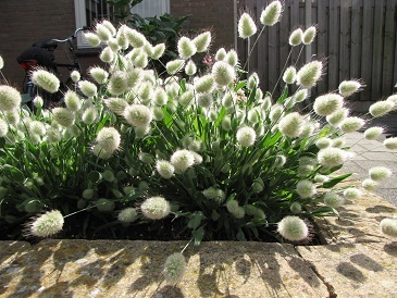 Зайцехвост выращивание из семян в домашних условиях 49