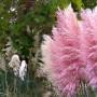 Кортадерия розовая
